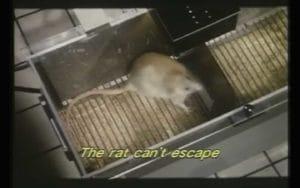 Le rat retourne l'agressivité envers lui