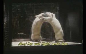 Les rats agissent avec agressivité
