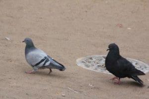 deux-pigeons-Weinstein
